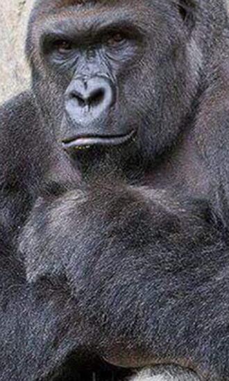 Harambe the Gorilla Celeb Profile