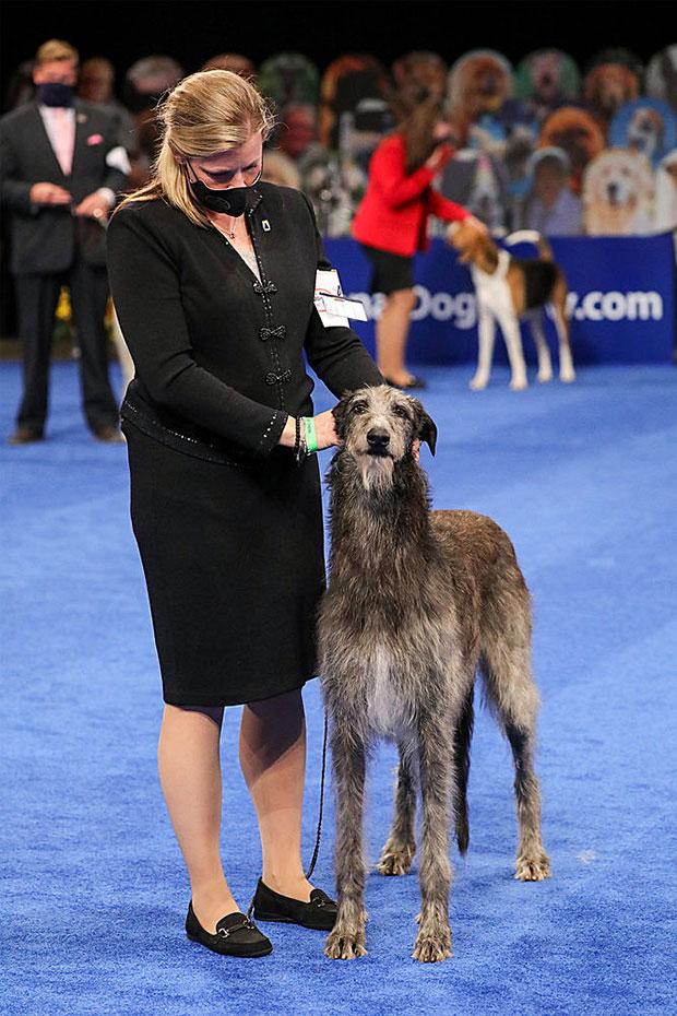 Claire le Deerhound écossais